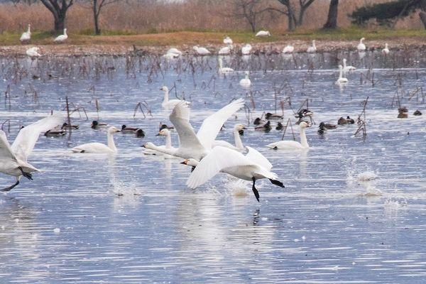 白鳥舞う冬の瓢湖